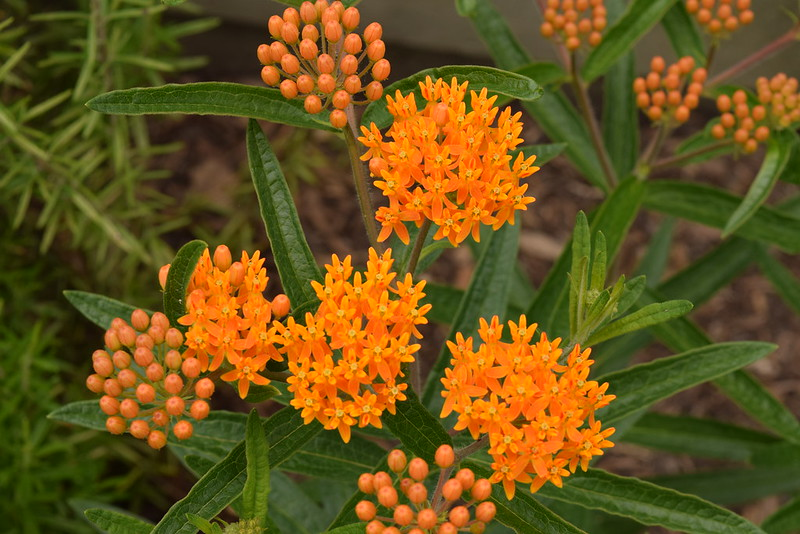 vivid orange butterfly weed native plant