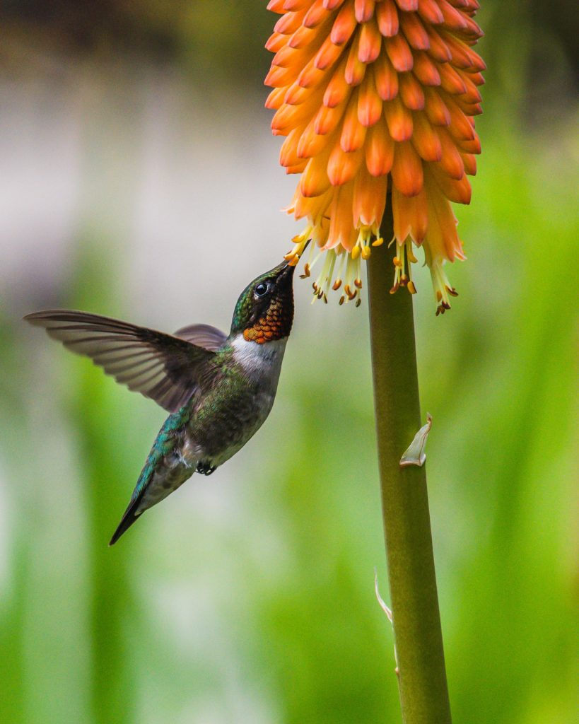 ruby throated hummingbird sipping nectar from orange flower